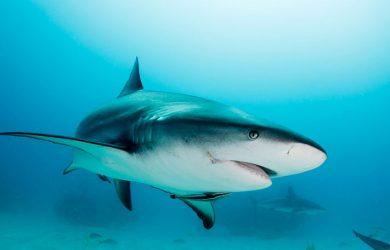 Cart Flex cartilagem de tubarão